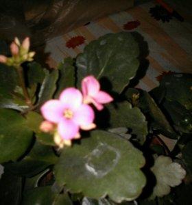 Каланхоэ цветущие