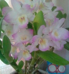 Орхидея дендробиум, 4 года