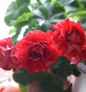 Цветок. Розебудная пеларгония
