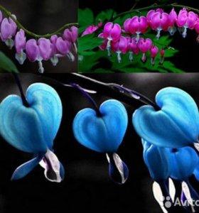 Дицентра цветок Кровоточащее Сердце Семена 3 шт