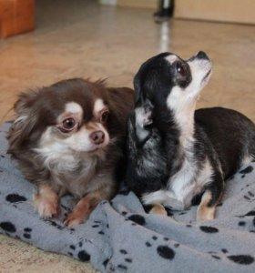 Две подрощенные собачки чихуахуа