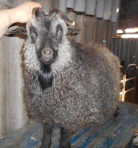 Продаются пуховые козы
