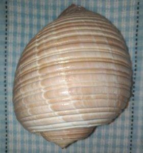 Средиземноморская морская ракушка.