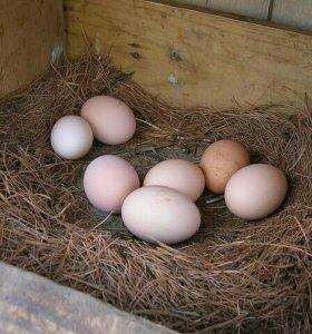 Продаю  Утиные яйца