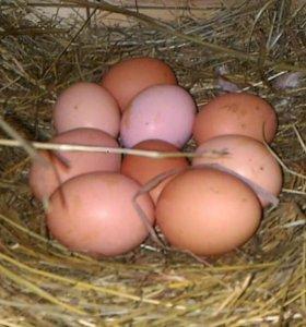 Продаю яйца домашние от своих курочек и уточек.