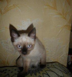 Кот-котёнок сиамский