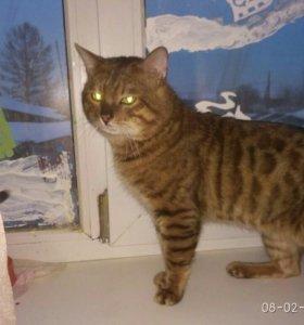Бенгальский кот.