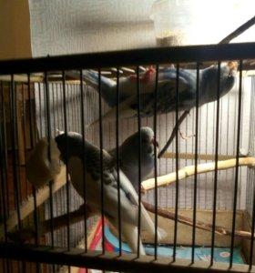 Молоденькие попугайчики !