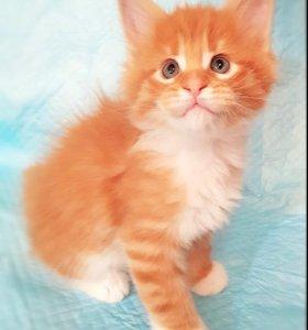 Кошечка Мейн Кун Алиса 6 недель