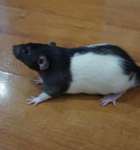 Крыса(дамбо)
