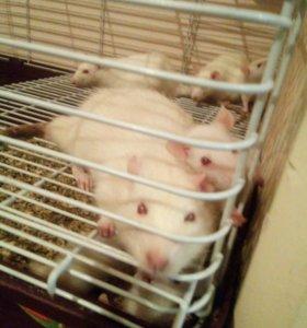 Крысята белые