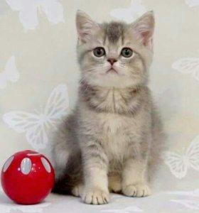 Британский милашка (котик)