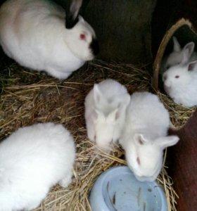 Кролики колифорнийцы