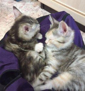 Котята чистокровные