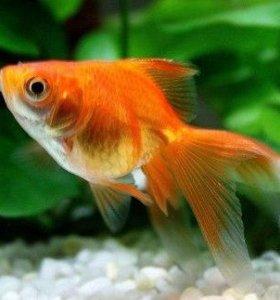 Золотая рыбка