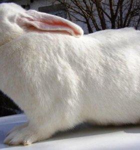 Кролики великаны (белые,серые)