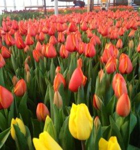 Тюльпаны оптом из Краснодара к 8 марта