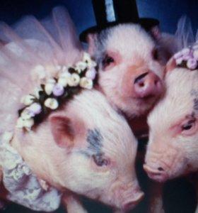 Продам свинину.