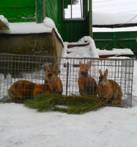 Кролики породы РЕКС.
