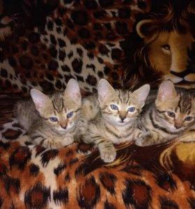 Котята бенгалочки