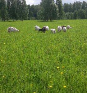 Продаю коз и козлят