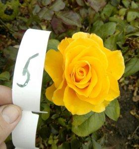 Розы с открытой корневой системой