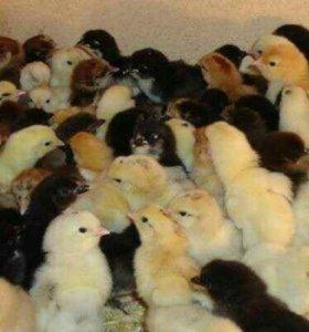 25 цыплят