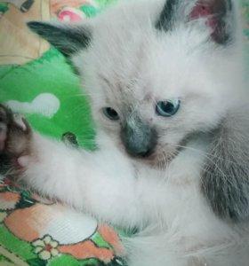 котёночек сиамский