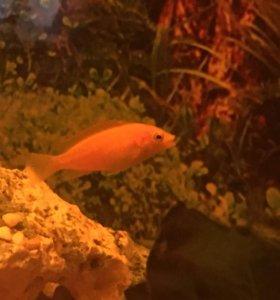 Рыбки Еллоу