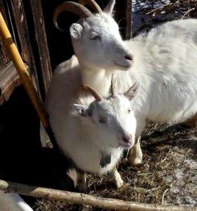 Продам зимних козочек от высокоудойных коз