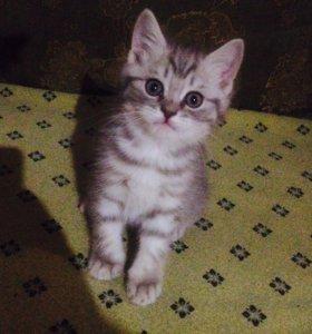 Котята-британские диверсанты)))