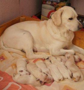 продаются щенки лабрадора