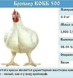 Бройлеры КОББ 500 (чехия)