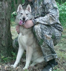 Продаются щенки западно сибирской лайки