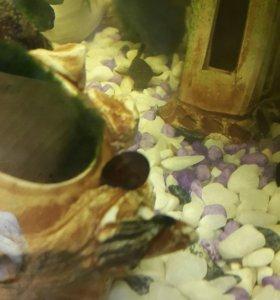 Улитки аквариумные