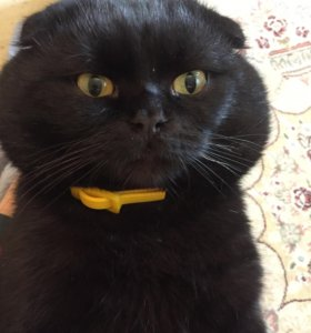 Кот на вязку вислоухий