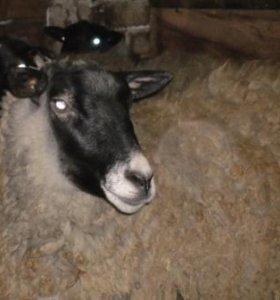 суягные романовские овцы