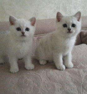 Котята британские шиншиллы