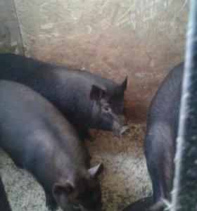 Поросята + беременная свинья