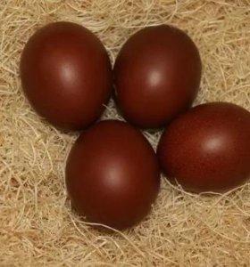 Яйцо инкубационное, Маран голубо-медный