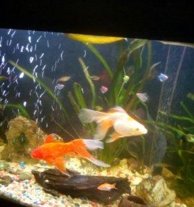 Золотая рыбка малёк 3-4см
