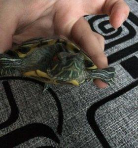 Красноухая черепаха ,срочно!!!