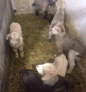 Новорожденные козлята