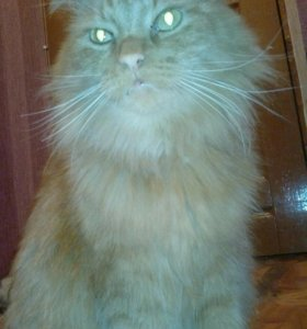 Кот Мейн Кун Огненный. Вязка