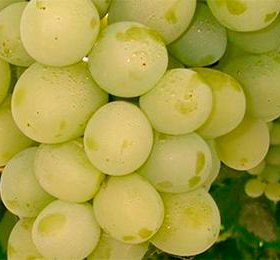 Черенки винограда, шелковица, фундук, скумпия