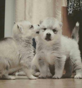 Сибирский хаски, щенки