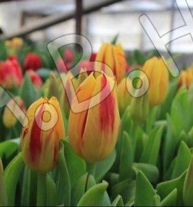 Приморские тюльпаны!!!