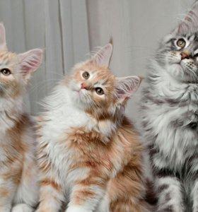 Кошечки мейн кун