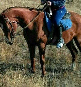 Лошадь породистая