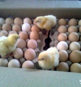 Яйцо инкубационное. Вывод 90%